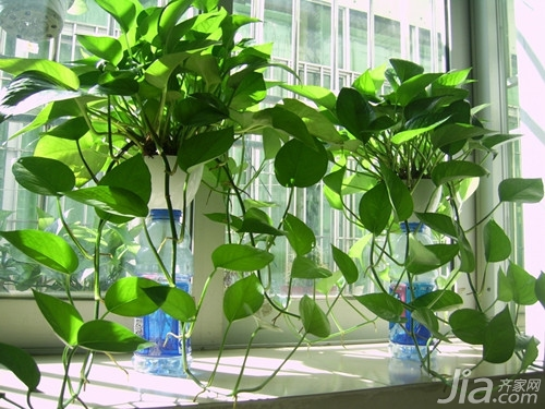 绿萝的养殖方法和注意事项 绿萝的作用