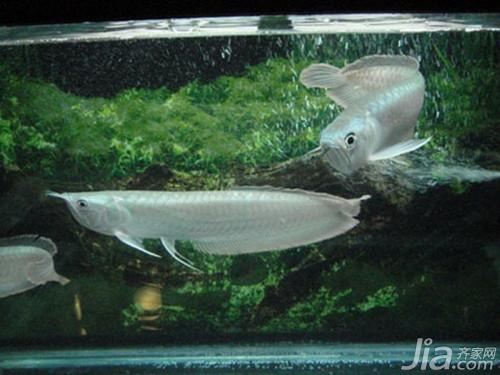 银龙鱼吃什么_银龙鱼的寿命有多长_银龙鱼喂什么长得快_银